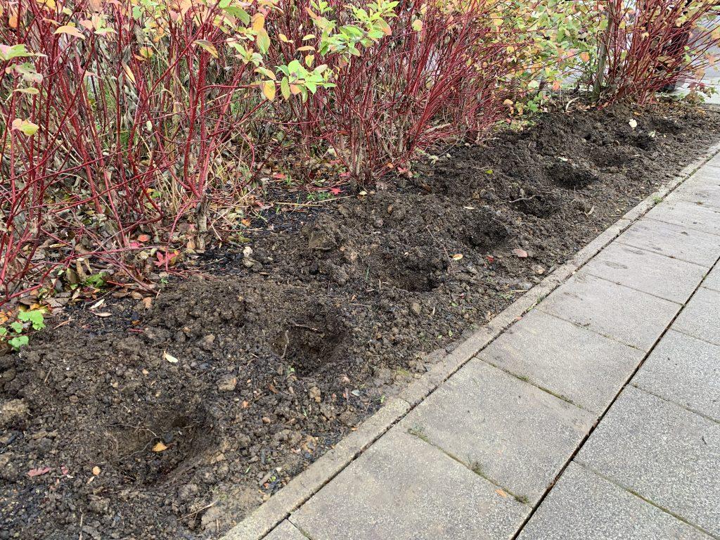 Spring Bulb Planting Prep 1