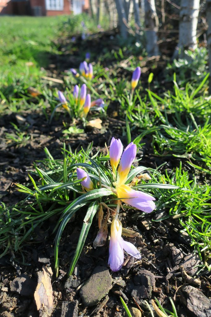 Spring Bulb Planting in Bloom 1